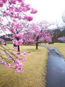 紅豊の桜花満開の雨の日の講演